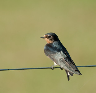 Boerenzwaluw - Barn Swallow
