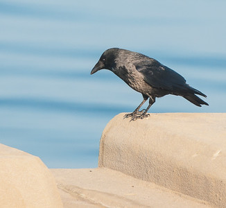 Bonte Kraai - Hooded Crow