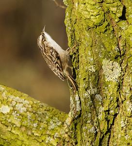 Boomkruiper - Short-toed Treecreeper