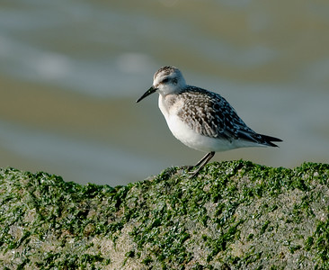 Drieteenstrandloper - Sanderling