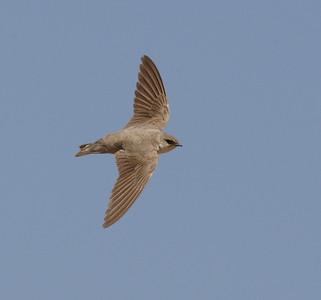 Kiitäjät ja Pääskyt (Swifts, Swallows and Martins)