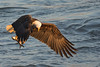 flying bald eagle with fish in early sunlight