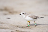 piping plover_7518