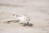 piping plover_7506