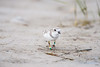 piping plover_7547