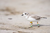 piping plover_7519