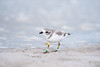 piping plover_7577