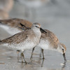 red knot_3606