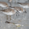 red knot_3615