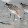 red knot_3612