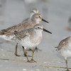 red knot_3607