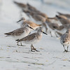 red knot_3576