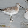 red knot_3613