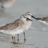 red knot_3605