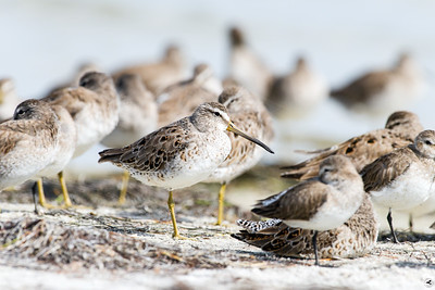 short-billed dowitcher_3809