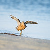 short-billed dowitcher_7659