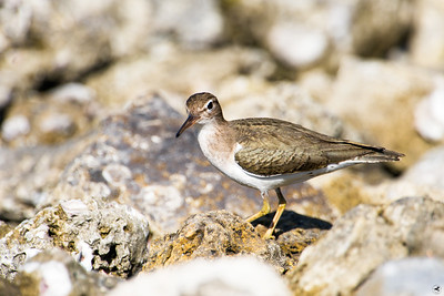 spotted sandpiper_2886
