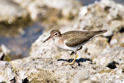 spotted sandpiper_2888