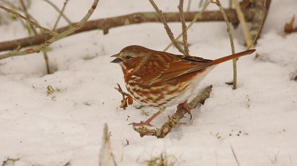 fox sparrows 2