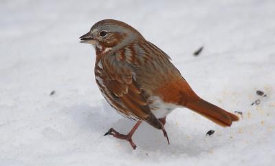 fox sparrows