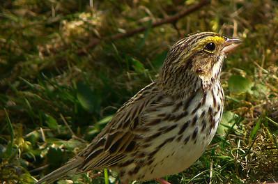 savanna sparrows