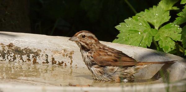 song sparrow bath