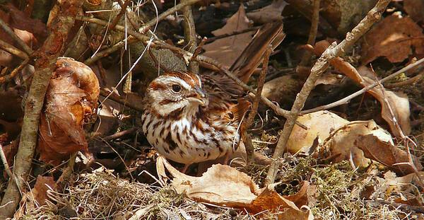 spring 2015 sparrows
