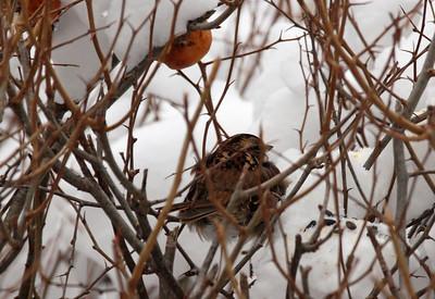 winter quince bush sparrows