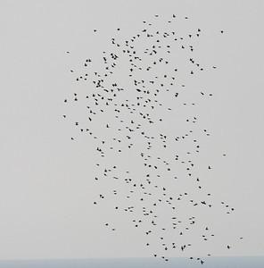 25.10.2011 Cyprus  Migrating flock