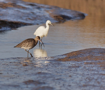 curlew and pal
