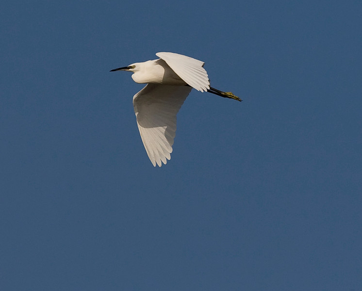 Little egret over tetney marsh
