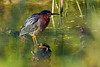 Green heron and turtle budies