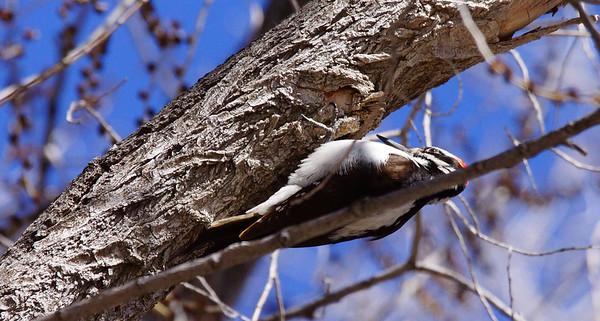 western hairy woodpecker
