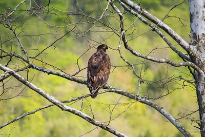 Juvenile Bald Eagle 1
