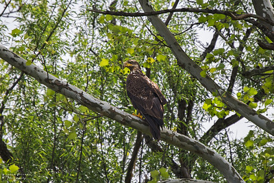 Juvenile Bald Eagle 2
