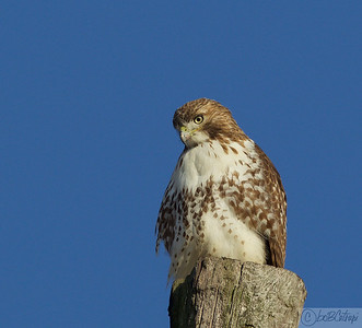A Red tailed Hawk observing Harriers and Photographers! Mercer County Farm, NJ