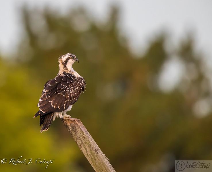 Juvenile Osprey - 2017