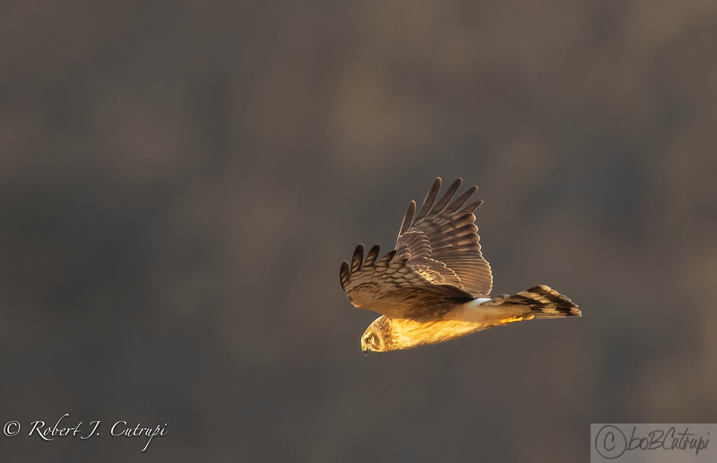 A female Harrier sees a possible meal