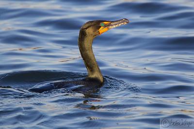 Double Crested Cormorant, Manasquan Reservoir, NJ.