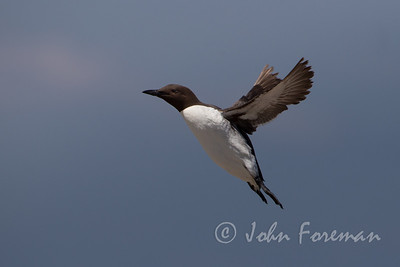 Guillemot, Farne Islands