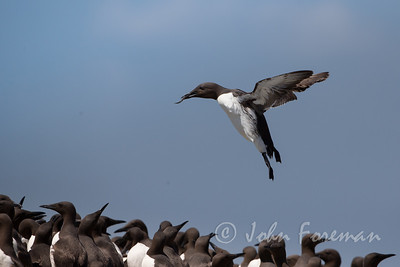 Guillemots, Farne Islands