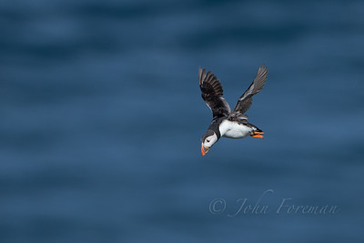 Puffin, Bempton Cliffs