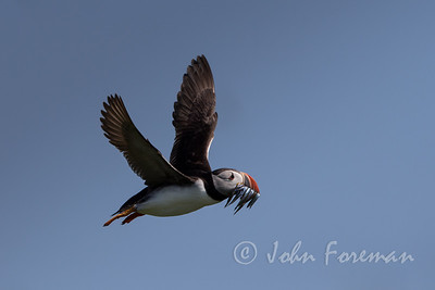 Puffin, Farne Islands