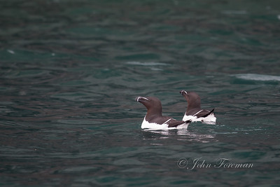 Razorbills, Isle of Man