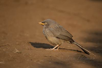Jungle Babbler, Ranthambhore