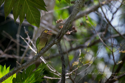Brown headed Barbet, Hikkaduwa