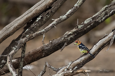 Crested Barbet, Selous