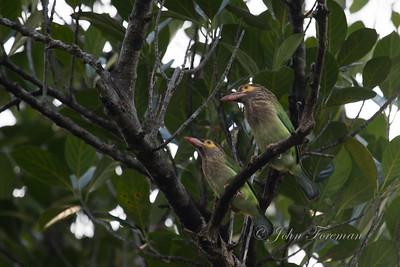 Brown headed Barbets, Hikkaduwa