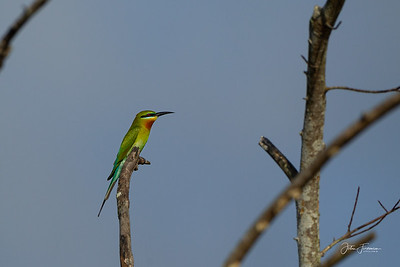 Blue-tailed Beeeater, Pulau Ubin