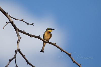 Cinnamon-chested Bee-eater, Selous